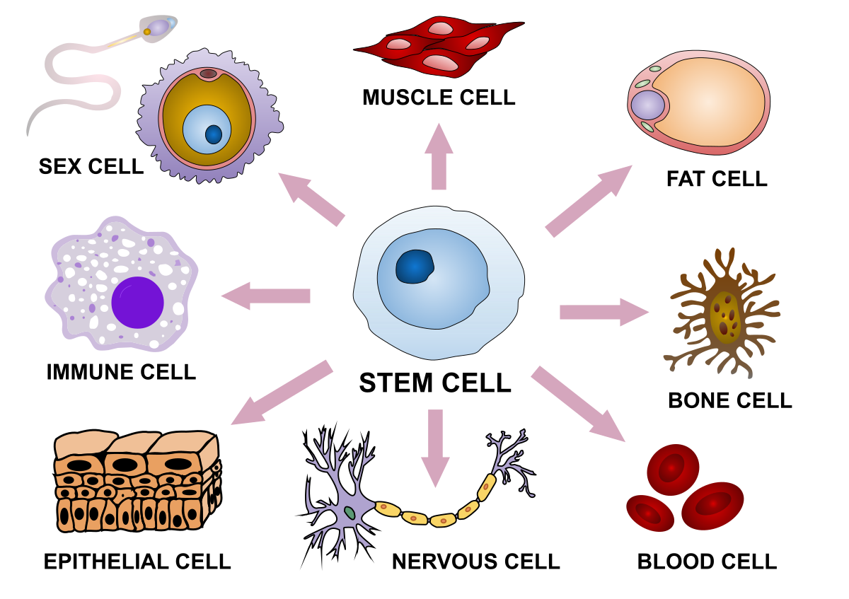 Final_stem_cell_differentiation_